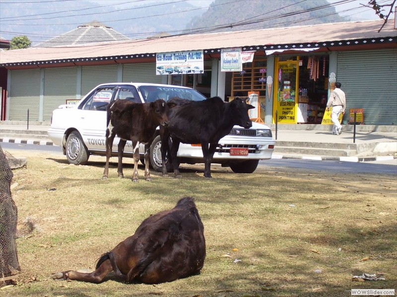 cows roam freely - pokhara, nepal